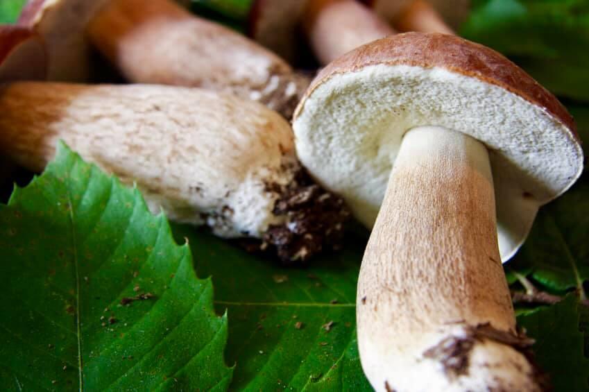 specialità funghi porcini salento