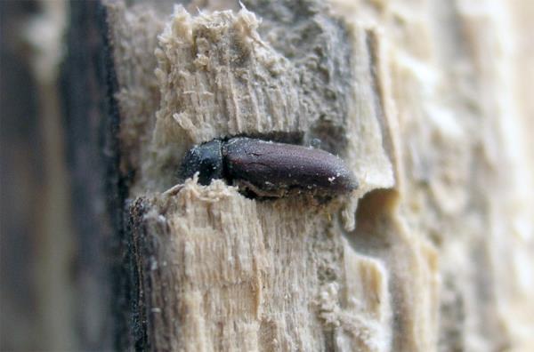 Woodworm control Viterbo