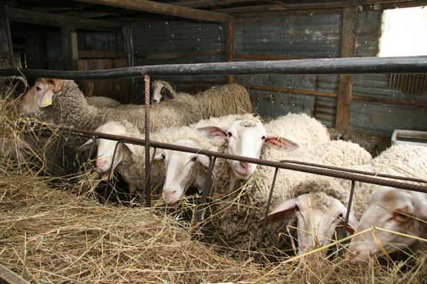 azienda agricola allevamento Pietrelcina