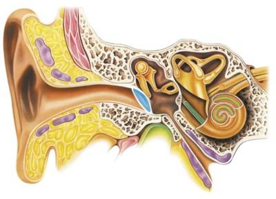 componenti dell'orecchio