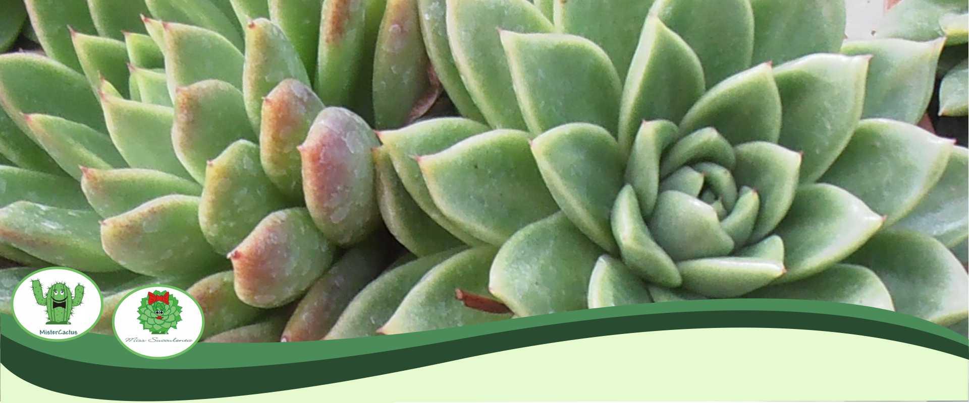 Coltivazione Vendita Piante Grasse Cactus Succulente Sanremo Imperia Savona | Ingrosso Produzione Import Export Piante Grasse Cactus Succulente Italia Francia Nord Europa Nord Italia Centro Italia | AG SANREMO