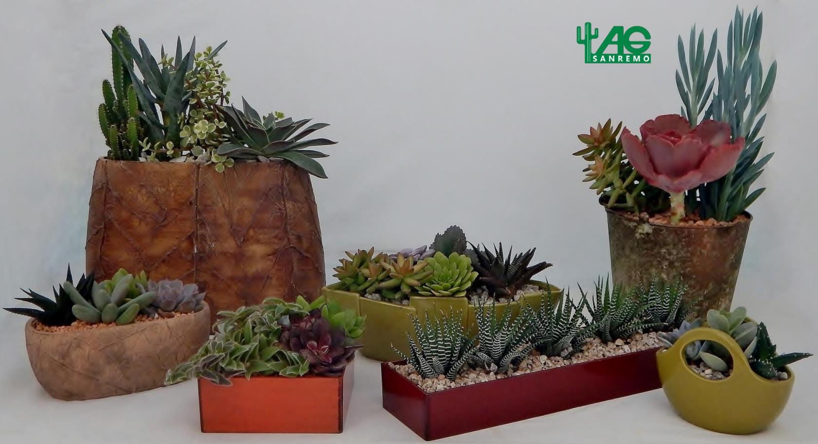 Composizioni Piante Grasse Cactacee Cactus  Piante Grasse in Vaso Sanremo Imperia Liguria | AG SANREMO