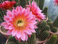 Vendita Fiori di Cactus Piante Grasse Fiorite Cactus Aloe Euphorbia Yucca Fiorite | AG SANREMO