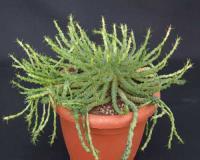 Coltivazione Vendita Euphorbia AG SANREMO Imperia Liguria