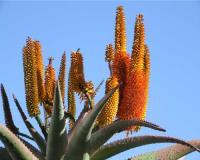 Coltivazione Vendita Aloe AG SANREMO Imperia Liguria