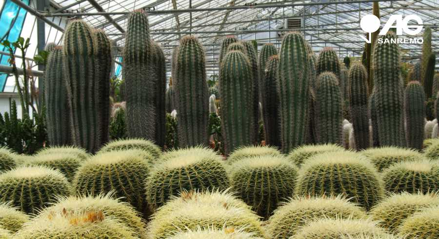 Production, Cultivation and Sale Cactus Succulents Cacti Sanremo Imperia Liguria | AG SANREMO