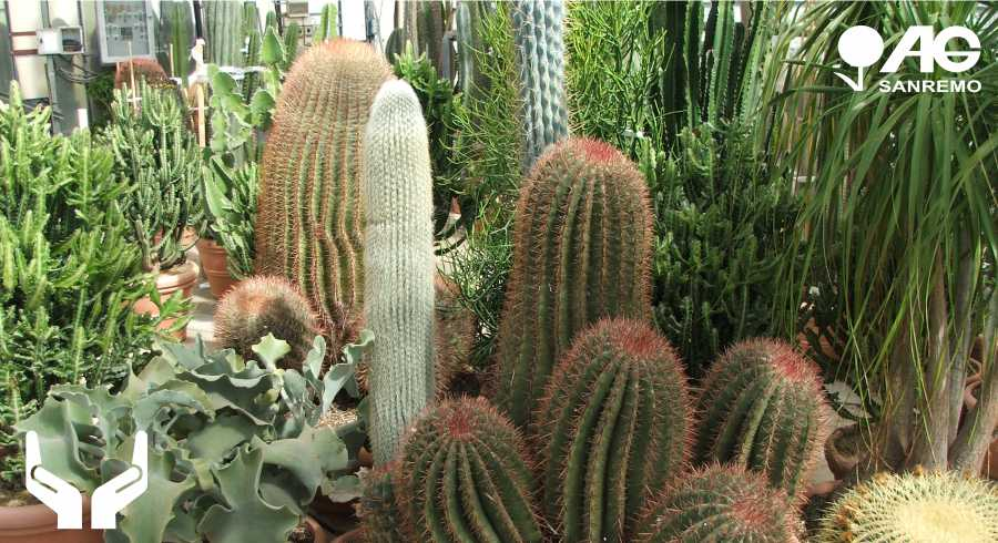 Care and Lifecycle of Cactus Family Succulent Plants and Cacti Sanremo Imperia Liguria | AG SANREMO