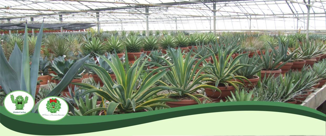 AG Nursery Sanremo Production, Cultivation and Sales of Succulent in the Cactus Family Cacti Sanremo Imperia Liguria | AG SANREMO