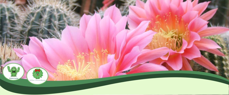 Cactus-family Succulents Longevity Diseases Sanremo Imperia Liguria | AG SANREMO